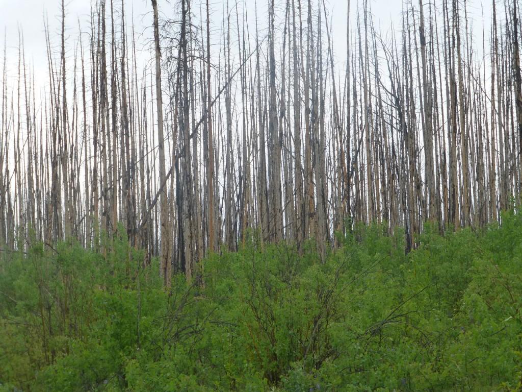 Durch einen riesegen Waldbrand vor 3 Jahren zerstoert,