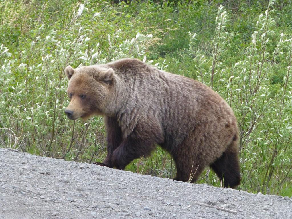 ...und dann kam der Grizzly