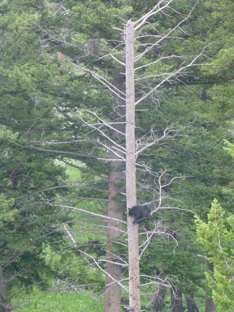 ..der 20. Baer, aber der erste auf einem Baum.