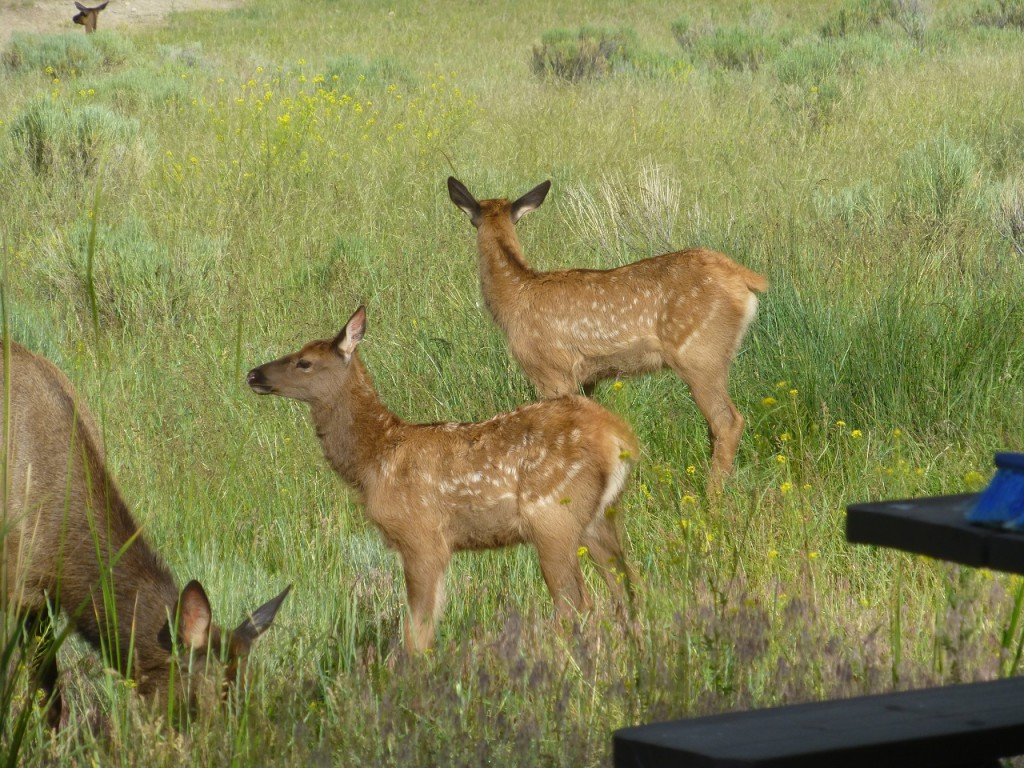 Elk mit 2 Jungen