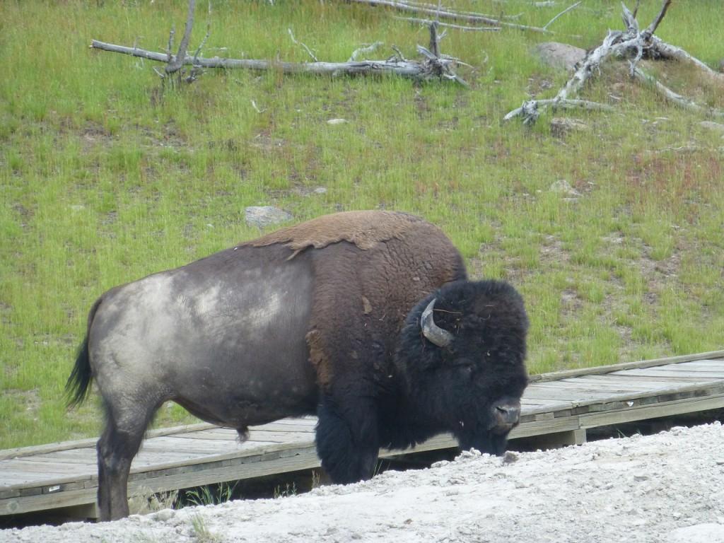 Viele Bisons haben wir gesehen, unverzeilich aber, dass ich frueh morgens nicht gehalten habe, als ein Bison mit einem rotblonden, suessem Kaelblein den Weg kreuzte.
